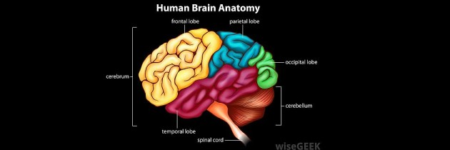 Brain Anatomy and Functions